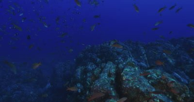 Traveling along reef as a variety of reef fish cross the frame