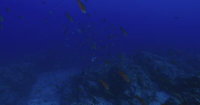 Traveling along reef as a variety of reef fish cross the frame, tilt down to reveal Finescale Triggerfish swimming along bottom