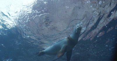 Cam approaches sea lions near surface, they play and fight, cam tracks sea lion as it swims down to rocks