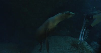 Sea Lion playfully looks at camera, camera tracks Sea Lion as it swims away and ascends