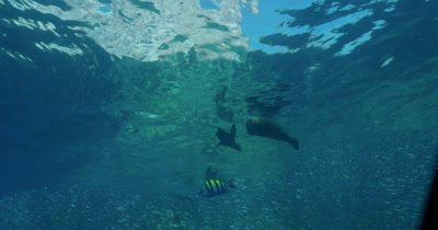 Sea lion and school of Sardines near surface