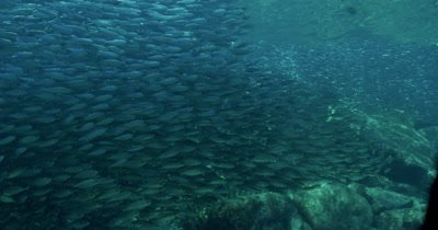 Massive school of Sardines swim past camera. Seargant Majors cross frame in front of Sardines. Sardines move su