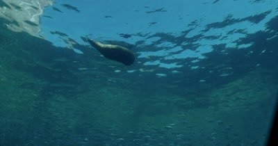 track sea lion swimming and floating on surface over large school of Sardines