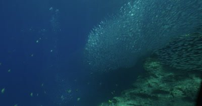 Approaching large school of Sardines