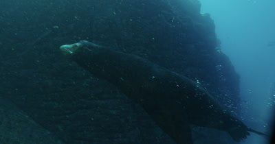Track sea lion as it ascends towards school of Sardines near surface