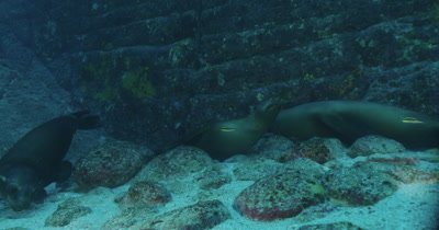 Track sea lion eating pebbles off seabed , then swims off.