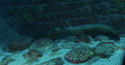Pair of Sea Lions resting on seabed.
