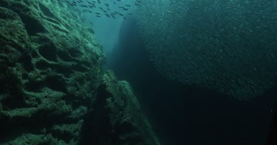 Low angle of huge school of Sardines and a Sea Lion swimming through