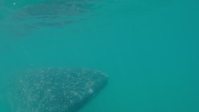 Whaleshark swimming near surface of water about to feed