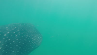 Whaleshark swimming crosses frame and disappears in the sea