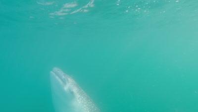 Tracking whaleshark vertical feeding near surface