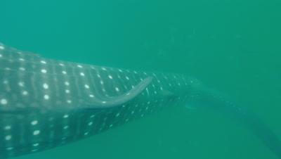 Tilt up from dorsal fin to reveal whaleshark vertical feeding at surface