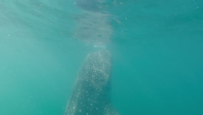 Circling whaleshark while it feeds near surface. Camera tilts down to reveal length of body.