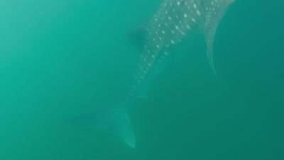 Tilt up from tail to reveal whaleshark feeding at surface. Close up on mouth as it feeds.