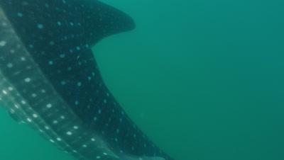 Tilt up to reveal whaleshark vertical feeding near surface.