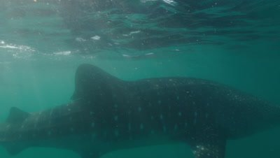 Cam tracks whaleshark as it swims along surface