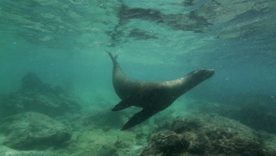 Sea Lion swimming quickly in very shallow water.  It sticks its head out of the water for air.