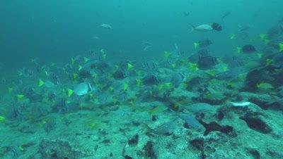 Yellowtail Surgeonfish swimming with blue striped grunt fish.