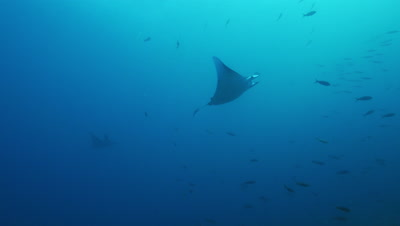 Low angle of manta ray swimming.