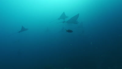 Group of spotted eagle rays