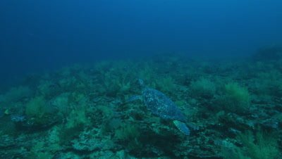 Sea turtle swimming away from camera close above rocky reef.