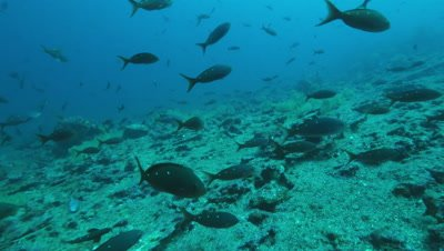 School of pacific creole fish swimming near reef.