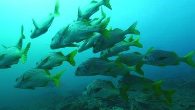 Small school of burrito grunt fish swim