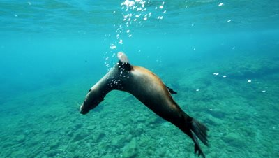 Sea Lion swims upside down toward camera.  Pan to a flip.