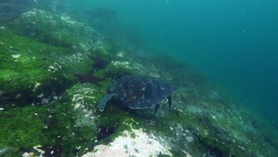 Sea turtle feeding on algae covered rock.