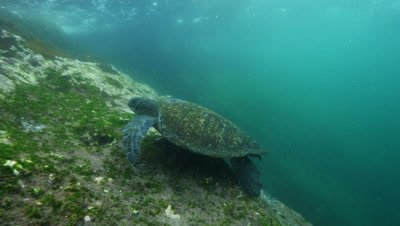 Sea turtle feeding on algae.