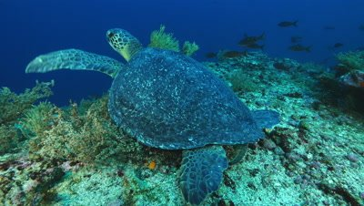 Sea turtle rests on reef.  As camera gets close it moves away.