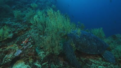 Camera moves along reef and reveals a sea turtle resting on it.