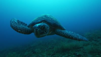 Sea turtle swims straight at camera.