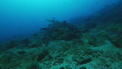 School of yellowtail grunt gather near rock.