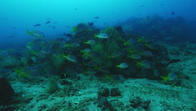 School of yellowtail grunt fish gather near a rock.