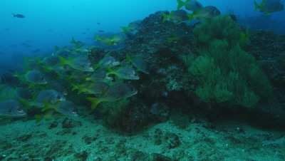 School of yellowtail grunt fish near rock.