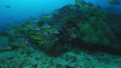 School of yellowtail grunt fish near rock.