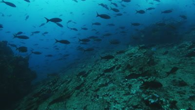 School of pacific creole fish swim near reef.