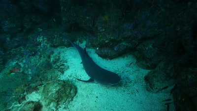 Shark resting on reef.  As camera moves in, it gets up and swims away.