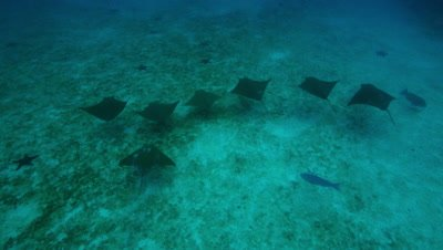 Overhead shot of stingrays swimming over sand and starfish