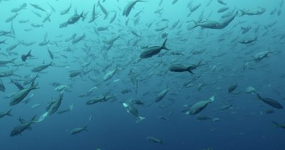 Pacific Creole fish swim in every direction