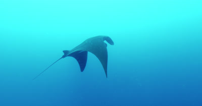 Manta ray swimming and exiting frame.