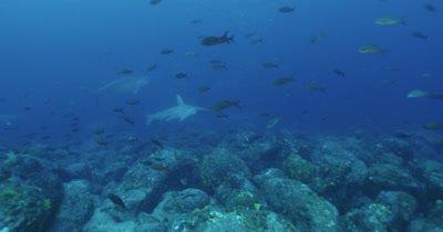 Hammerhead sharks swim along rocky reef.