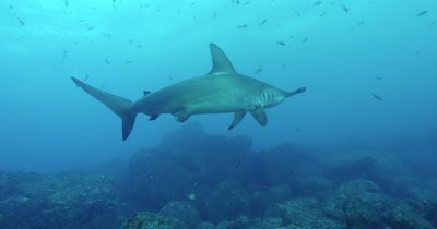 Hammerhead shark swims in front of camera and exits frame.
