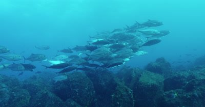 School of bigeye jack swim along rocky reef.