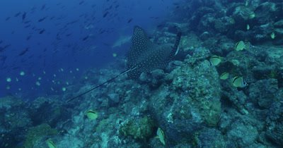 Spotted eagle ray swims along rocky reef.  Hammerhead shark comes into shot and turns around behind him.