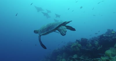 Sea turtle swims with spotted eagle rays and shark in the background.