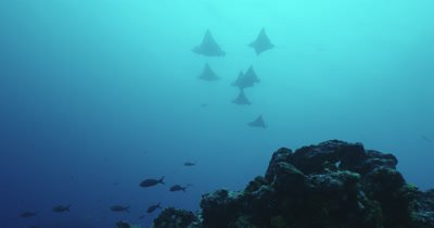School of spotted eagle rays shot from underneath swimming together.