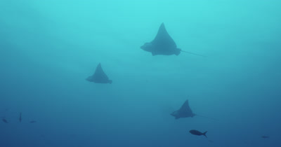 Spotted eagle rays shot from underneath.