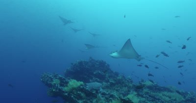 Spotted eagle rays hovering near reef.  Sea turtle resting in background.